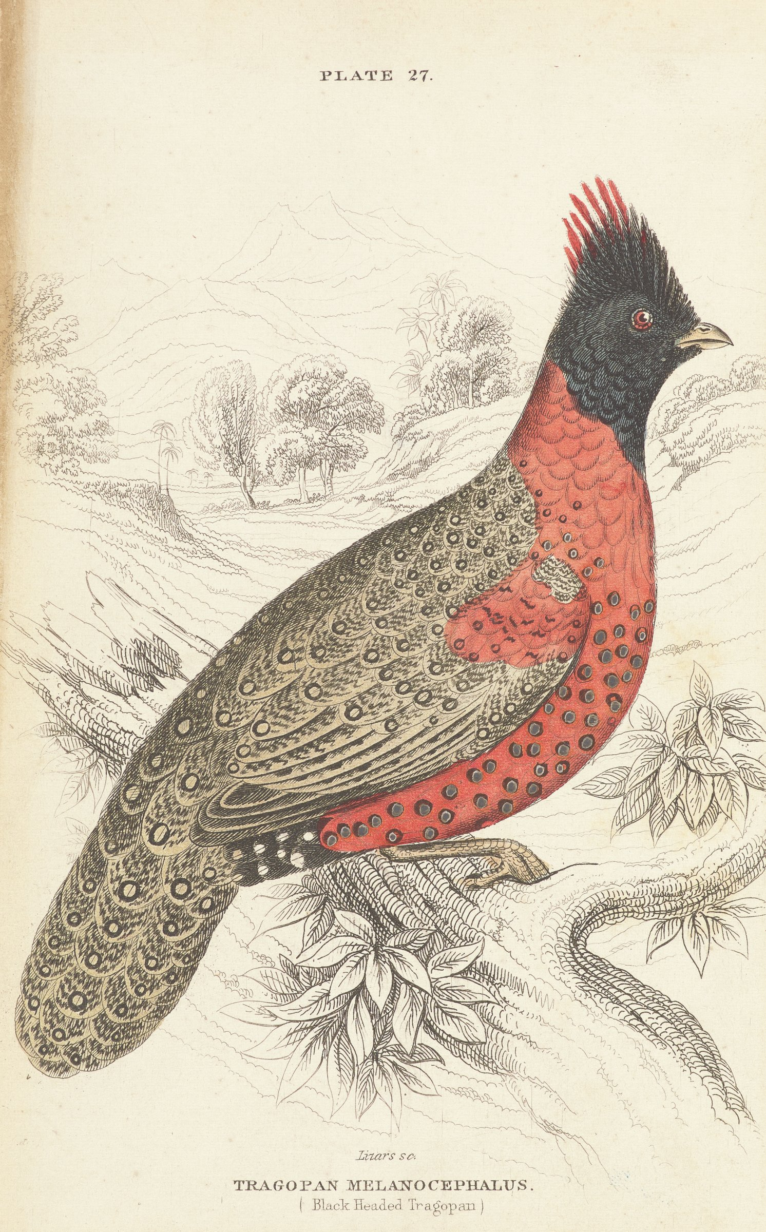 A bird is seen in profile standing on a tree limb with trees and hills in the background. The bird is red, black, and grey with circlular designs on its feathers.
