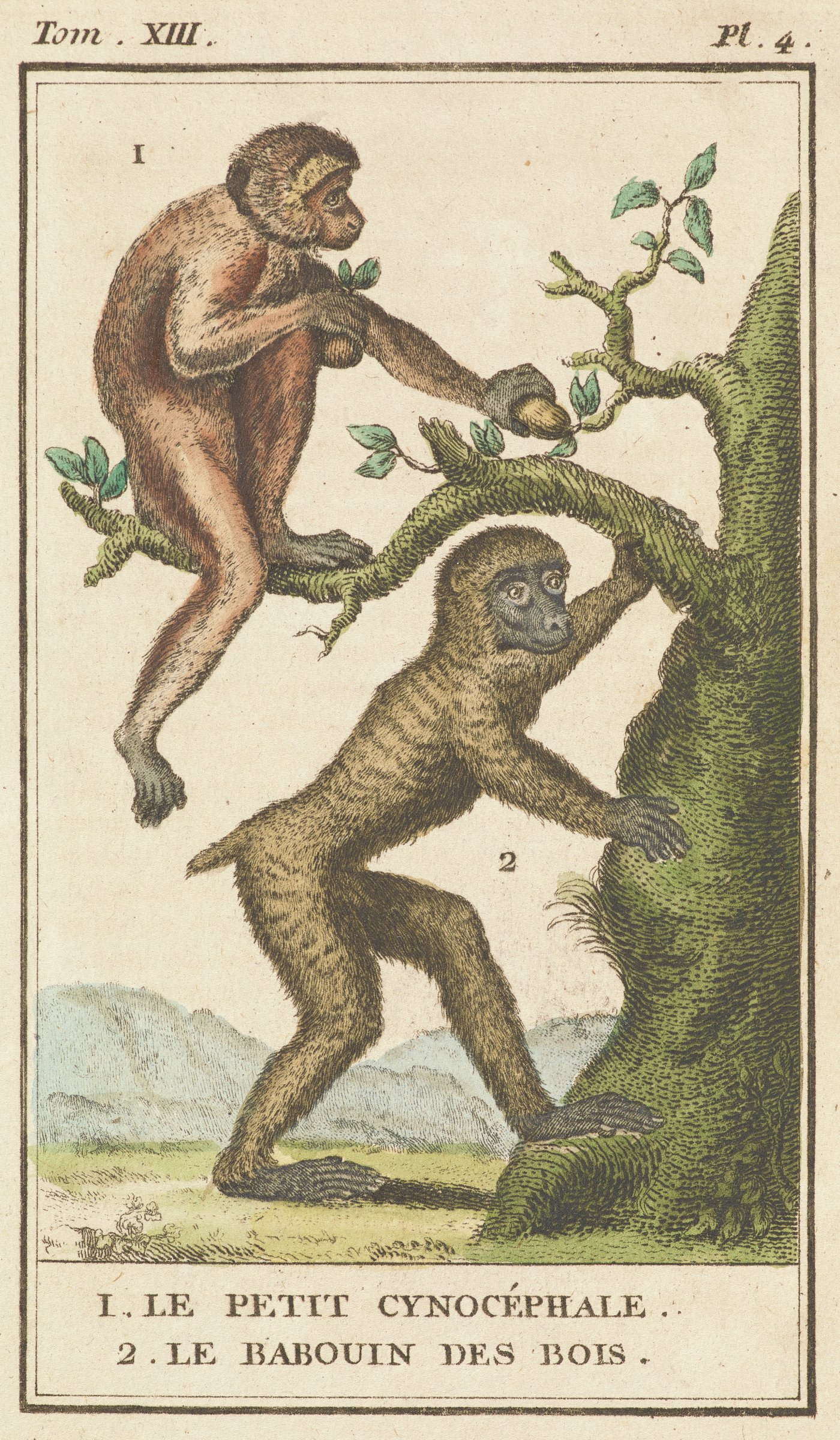 A monkey with a short tail is shown in profile with his head turned towards the viewer. He grabs onto a tree with his left arm. Another monkey is seen in profile siting on a tree limb grabbing fruit from a branch.