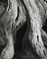 This black-and-white image shows a close-up view of a cypress tree.