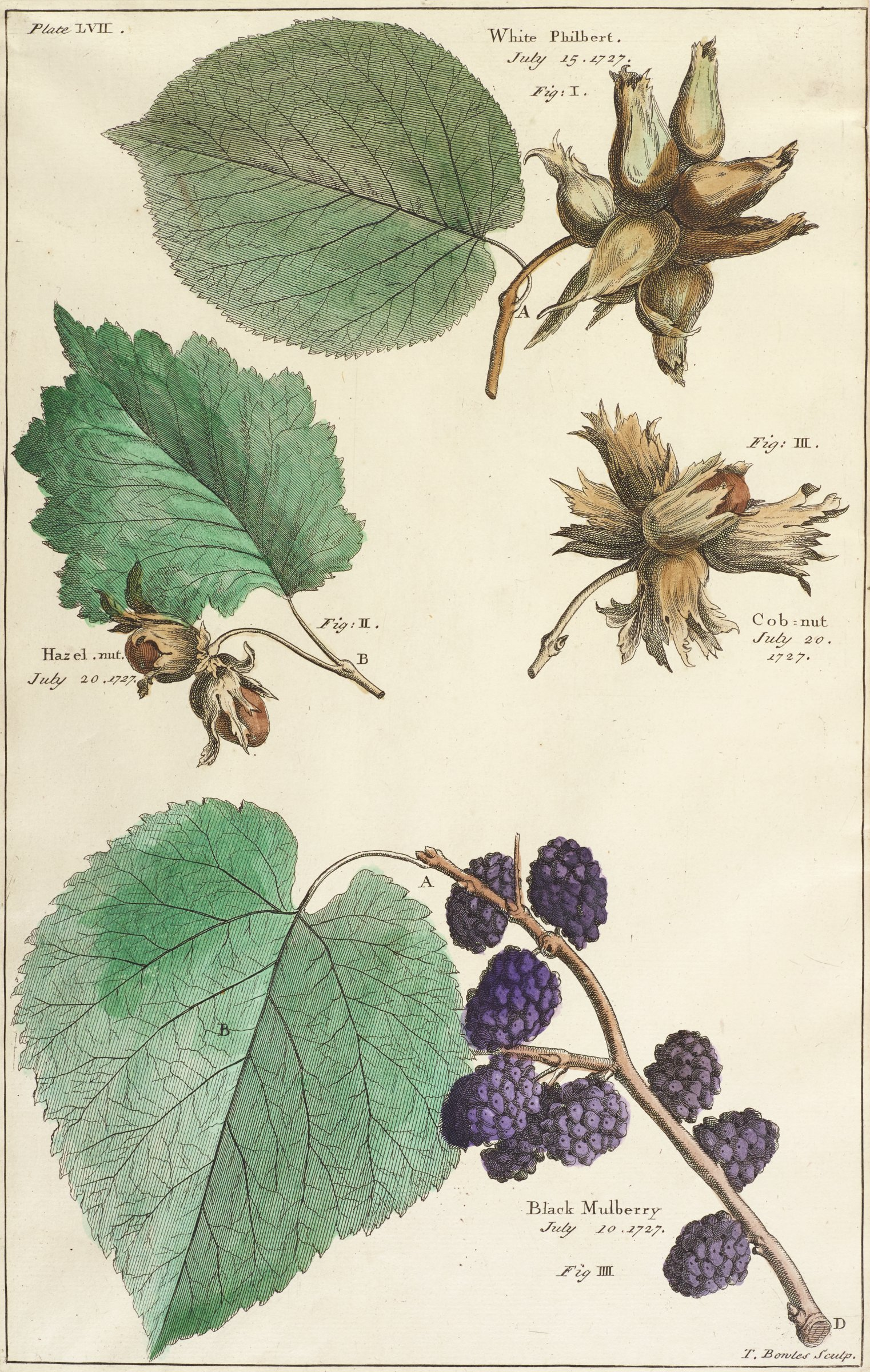 Botanical print depicting four different plants: white philberts, hazelnuts, a cobnut, and black mulberries. They are framed within a thin black outline.