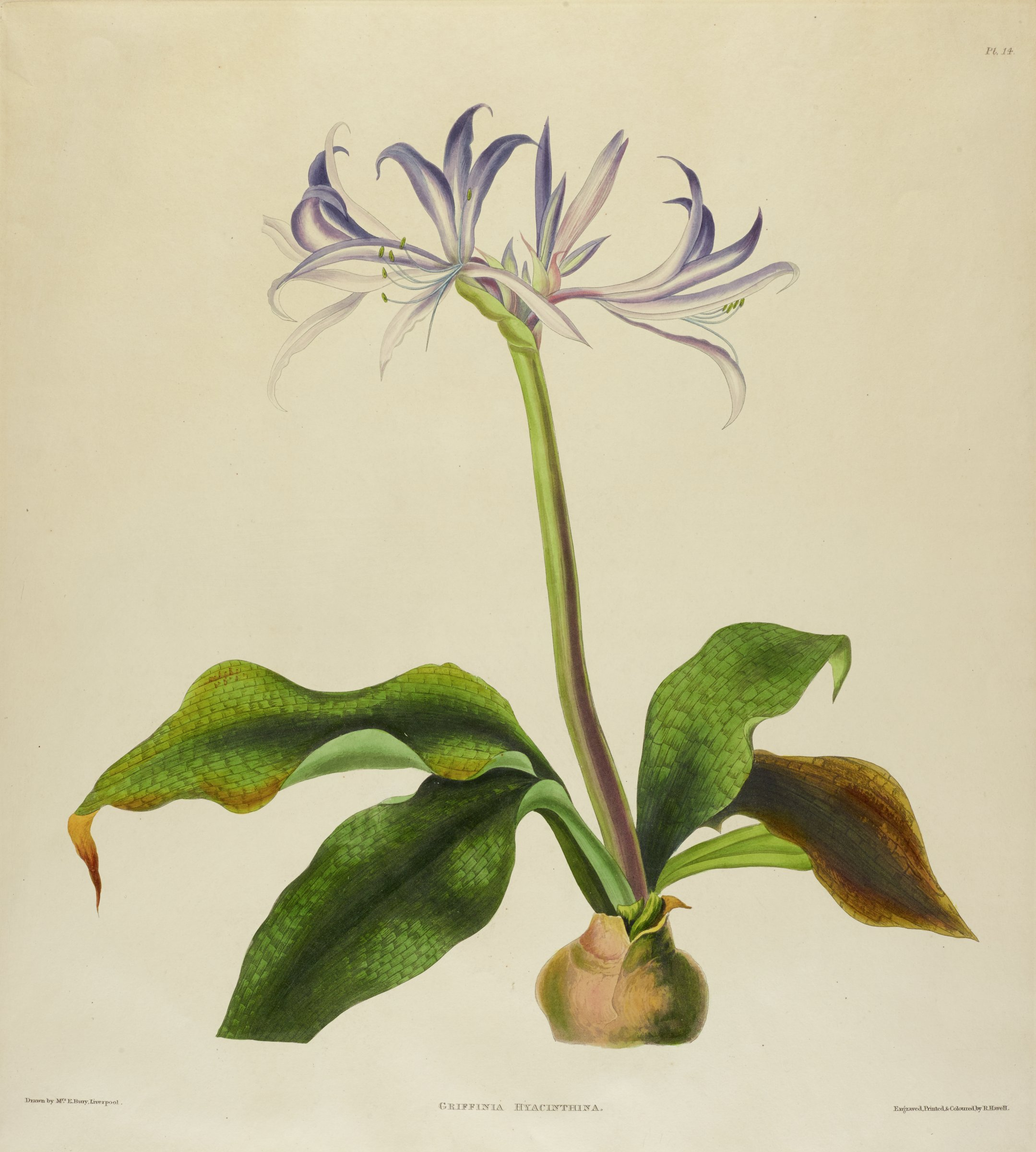 A botanical print depicting a flower with thin purple and white petals. The stem is thick with four large textured leaves.