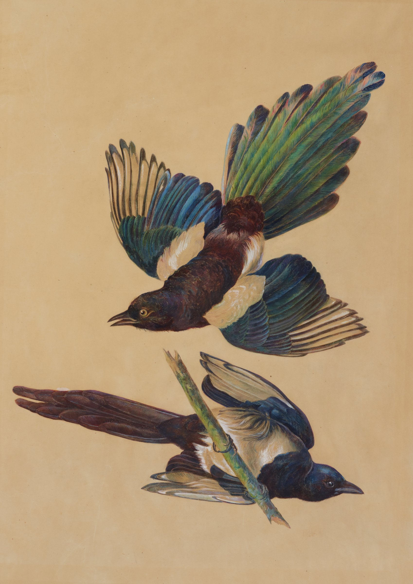 Two black-billed magpies are shown, one with wings fully expanded, and another sitting on a tree branch with its stomach to the viewer. The bodies are primarily covered with black and white feathers. The tails and wings contain green, purple, and green feathers with an iridescent-like sheen.