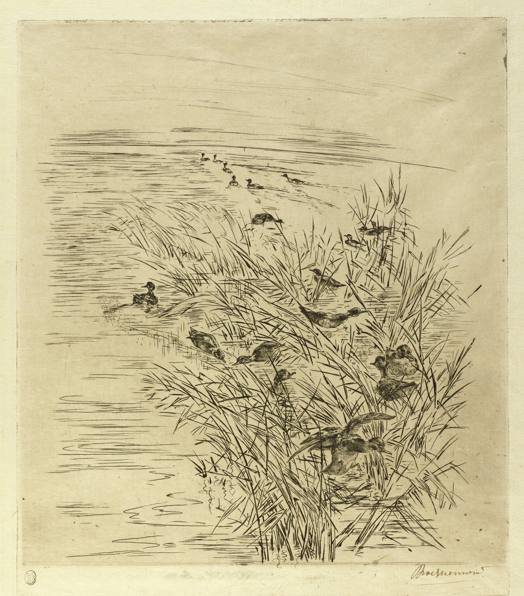 A flock of teals swim between reeds that grow out of the water. In the background, a line of teals swim away from the viewer.