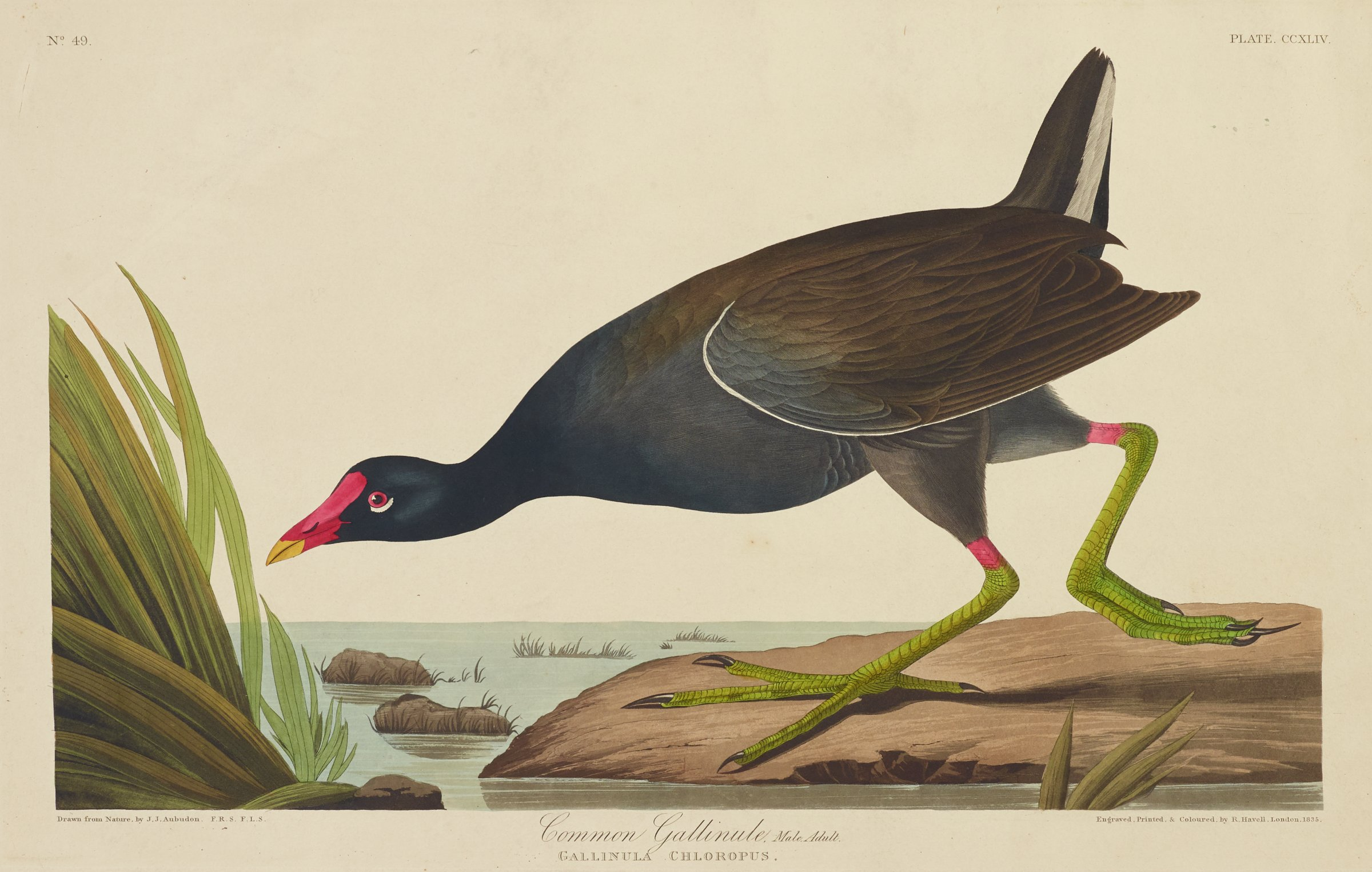 On the edge of a body of water that is scattered with patches of grass and rocks, a black bird with a red bill crouches forward. The bird is characterized by a white stripe running along the edge of its wing and another up its tail. It has green talons that are topped with red bands.